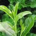 Prunus Meeldauw
