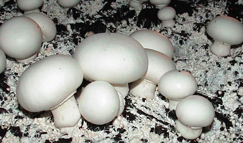 Mushroom Courses