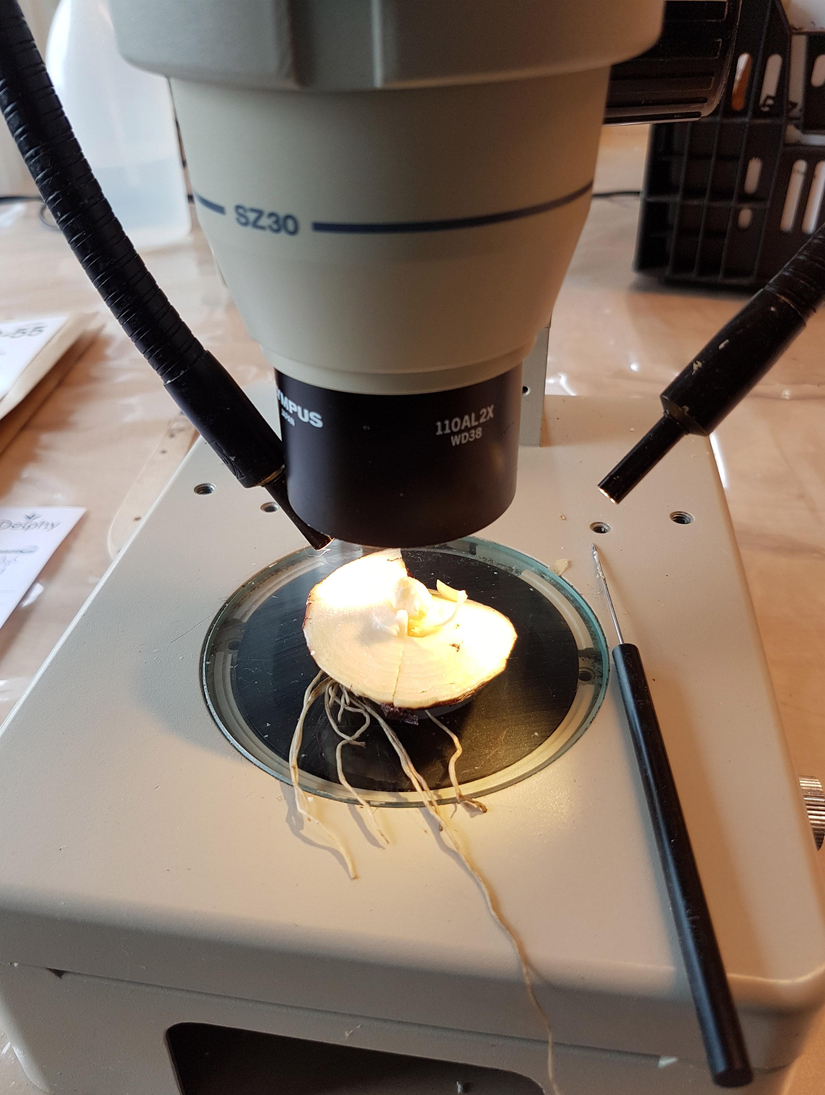 tulp stadiumonderzoek
